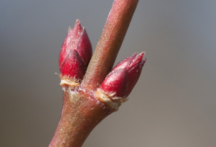 Japanese Maple Bud_sm