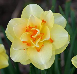 NarcissusTahiti