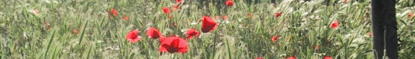 cropped-poppies.jpg