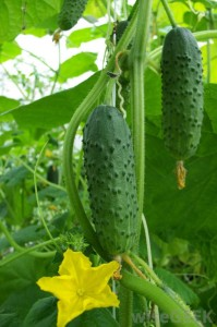 growing-cucumbers
