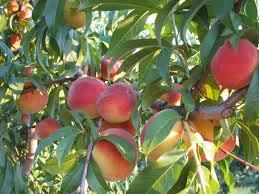 schultzfruitridgefarm peaches