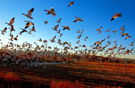 fright_flight_of_the_snow_geese_by_