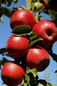 Jonanthan Apples