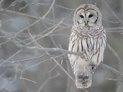 exclusive-winter-birds-owls-desktop