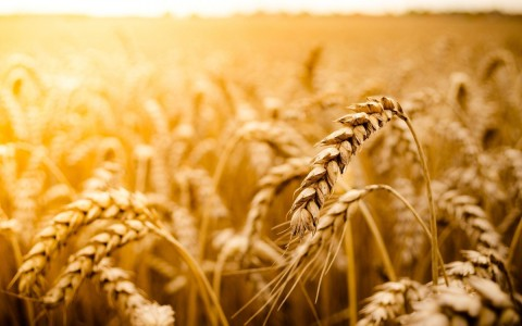 6914782-macro-wheat-field-sun-nature