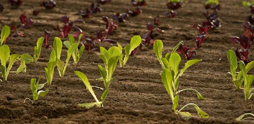 lettuce new