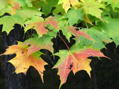 Early Fall-Maple Leaves