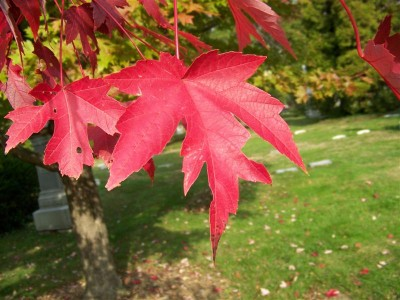 Acer.Autumn.Blaze(2)(Medium)