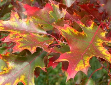 oak-leaf-change-colour