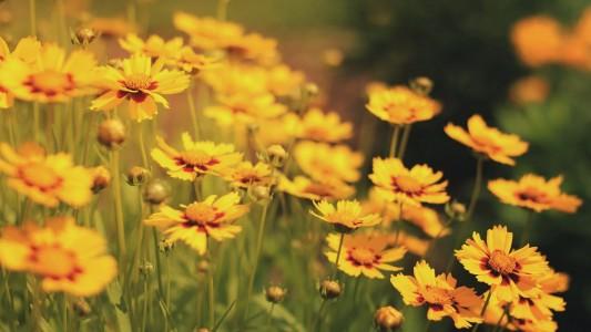 summer-yellow-lily-flower-field-wallpaper-2