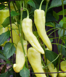 sweet-banana-pepper