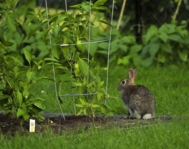 rabbit-in-the-garden