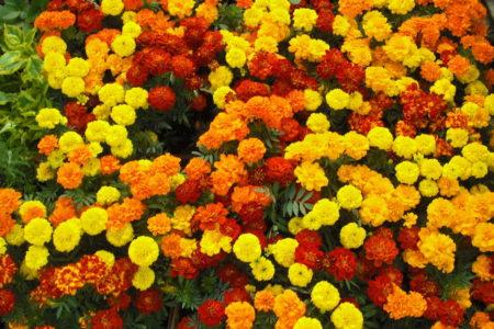 my_marigolds_by_mysticspirits-d6t3uls